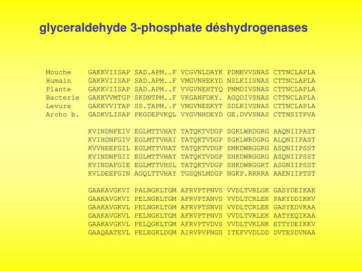 glyceraldehyde 3-phosphate déshydrogenases