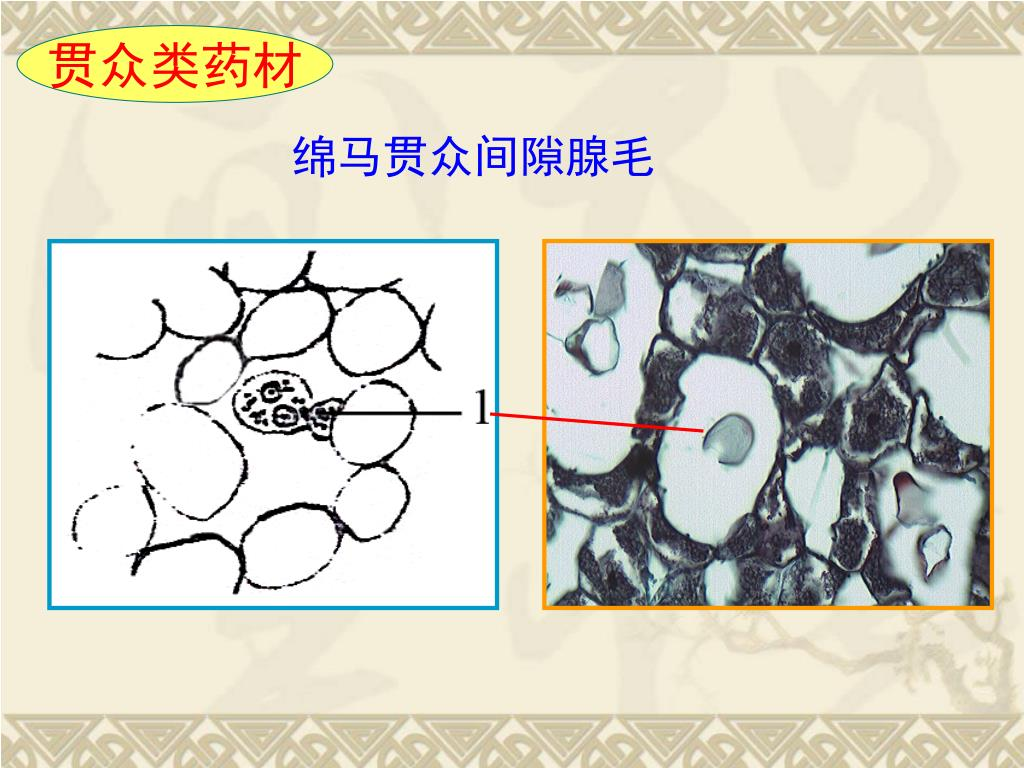 紫萁贯众_PPT - 中药鉴定学实验 PowerPoint Presentation, free download - ID:5143805