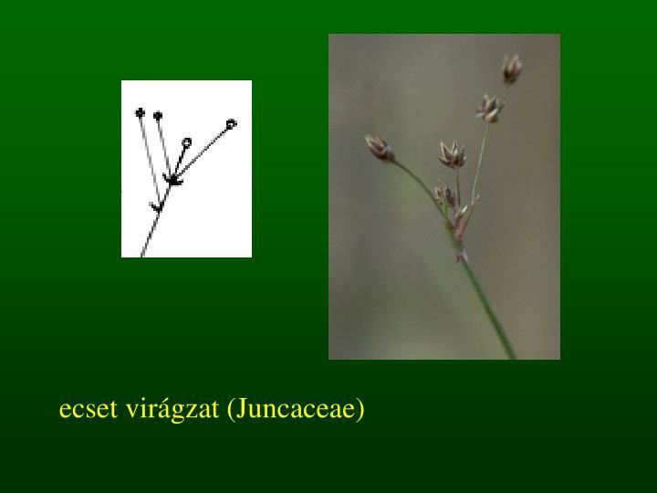 ecset virágzat (Juncaceae)