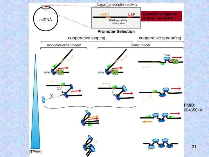 Basal transcriptional activity - no TFAM