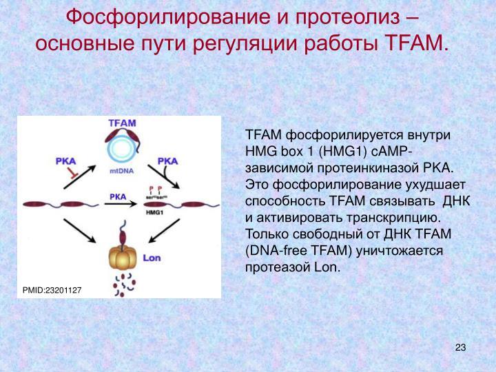 Фосфорилирование и протеолиз – основные пути регуляции работы TFAM.