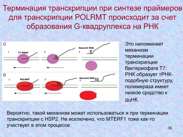 Терминация транскрипции при синтезе праймеров для транскрипции