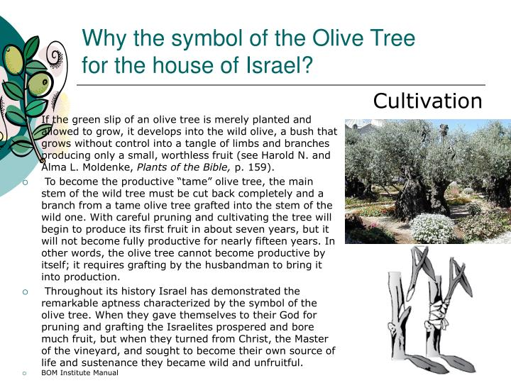 Ppt The Allegory Of The Olive Trees Jacob 5 Powerpoint