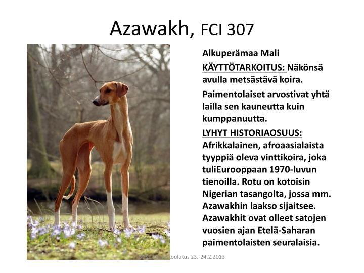 Azawakh fci 307