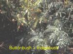 buttonbush indigobush