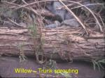 willow trunk sprouting