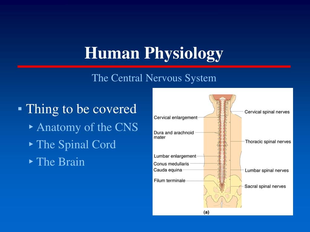 Ppt Human Physiology Powerpoint Presentation Free Download Id 5164006 Echinodermata.ppt by alfiyyah479 14793 views. slideserve