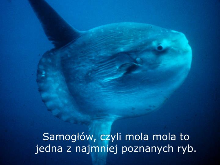 Samogłów, czyli mola mola to jedna z najmniej poznanych ryb.