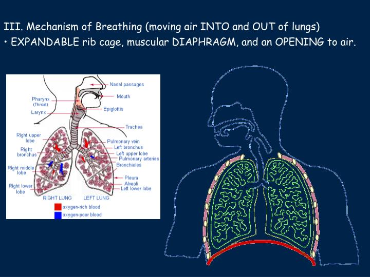 III. Mechanism of Breathing (moving air INTO and OUT of lungs)