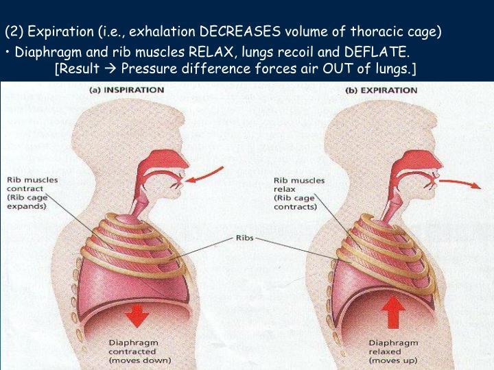 (2) Expiration (i.e., exhalation DECREASES volume of thoracic cage)