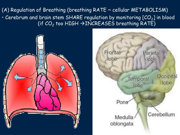 (A) Regulation of Breathing (breathing RATE ~ cellular METABOLISM)