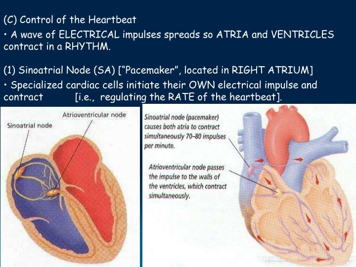 (C) Control of the Heartbeat