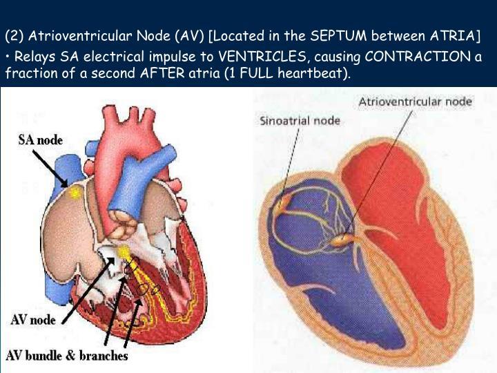 (2) Atrioventricular Node (AV) [Located in the SEPTUM between ATRIA]