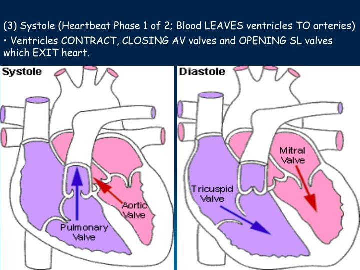(3) Systole (Heartbeat Phase 1 of 2; Blood LEAVES ventricles TO arteries)