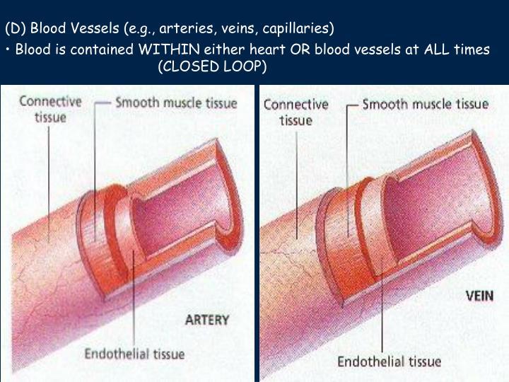 (D) Blood Vessels (e.g., arteries, veins, capillaries)