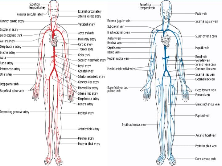 Chapter 47 circulatory and respiratory systems