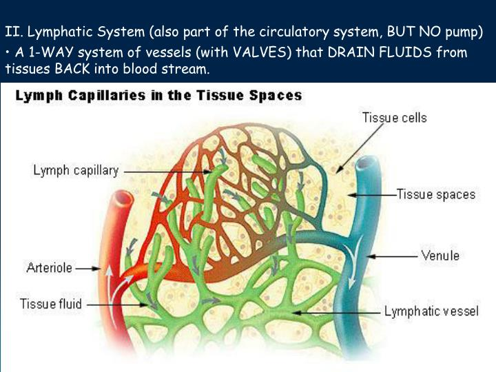 II. Lymphatic System (also part of the circulatory system, BUT NO pump)