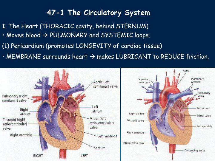 47-1 The Circulatory System