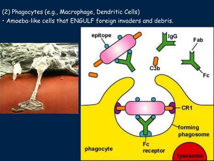 (2) Phagocytes (e.g., Macrophage, Dendritic Cells)