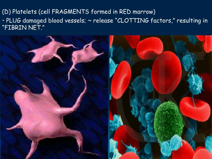 (D) Platelets (cell FRAGMENTS formed in RED marrow)