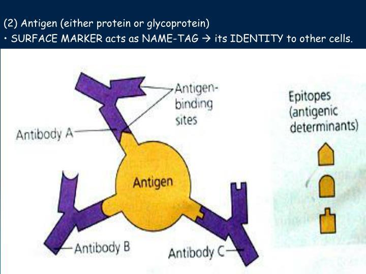 (2) Antigen (either protein or glycoprotein)