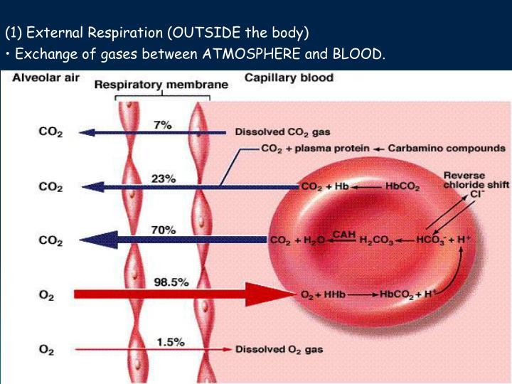 (1) External Respiration (OUTSIDE the body)