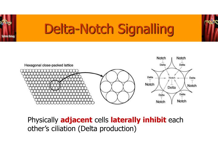 Delta-Notch Signalling