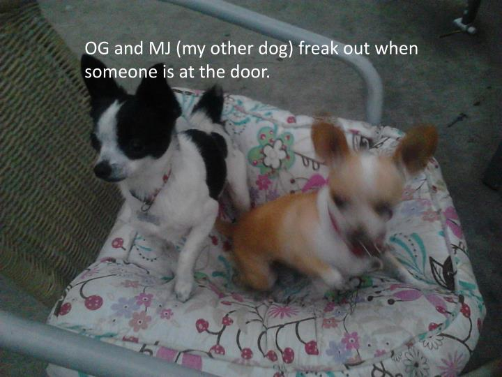 OG and MJ (my other dog) freak out when someone is at the door.