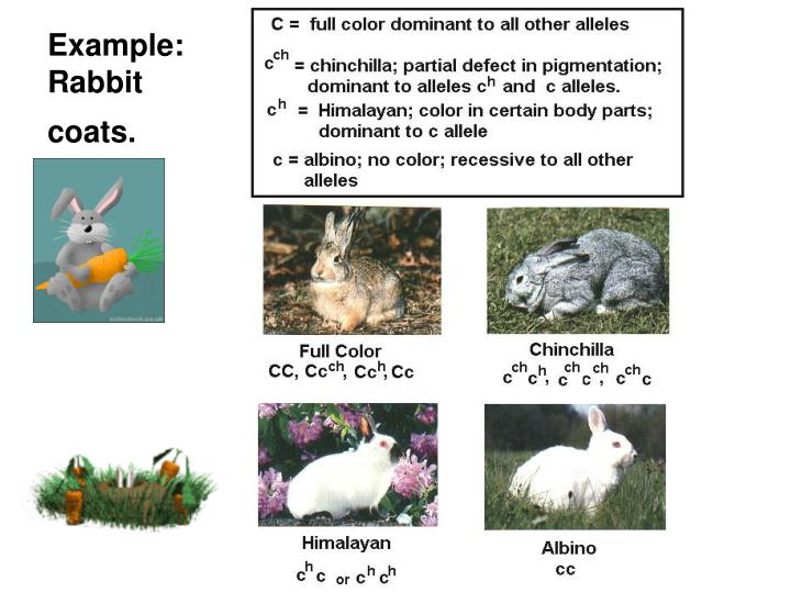 Example rabbit coats