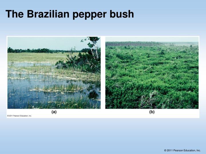 The Brazilian pepper bush