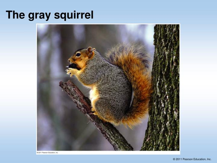 The gray squirrel