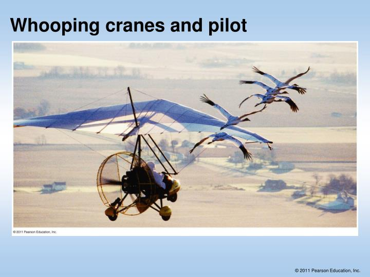 Whooping cranes and pilot