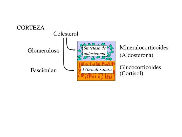Sintetasa de aldosterona