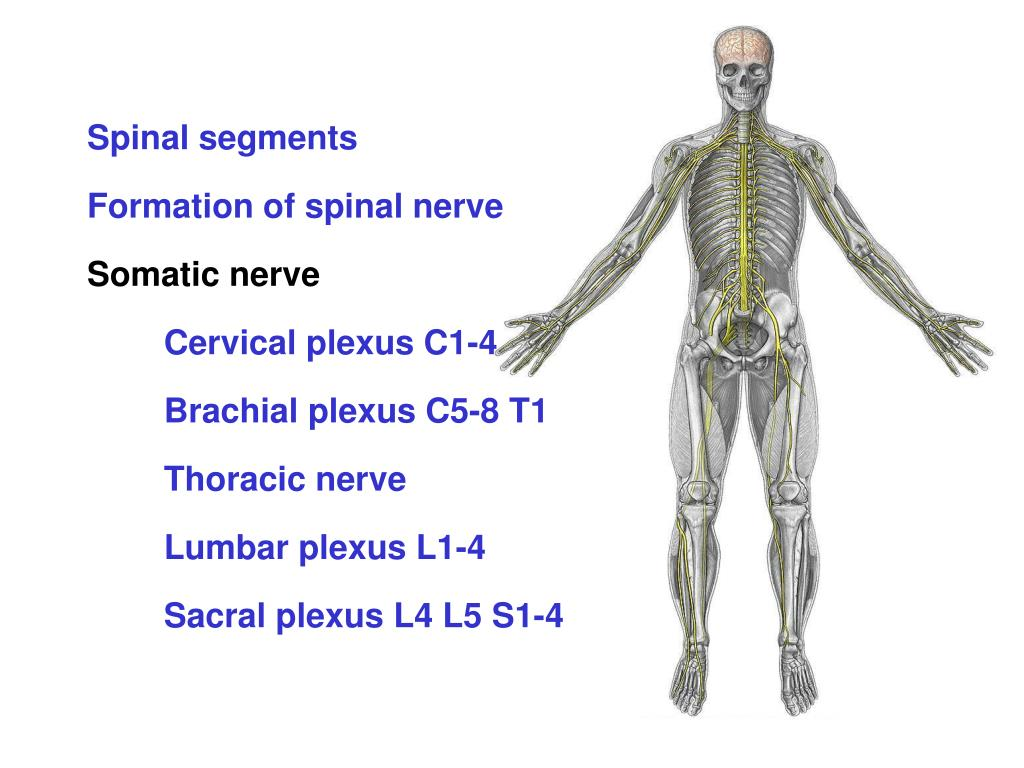 Ppt Formation Of Spinal Nerve Powerpoint Presentation Id5183575