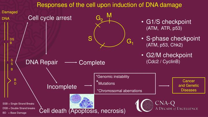 Responses of the cell upon induction of DNA damage