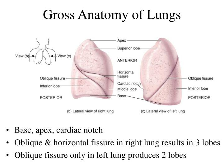 Lungs Anatomy Ppt Choice Image Human Body Anatomy