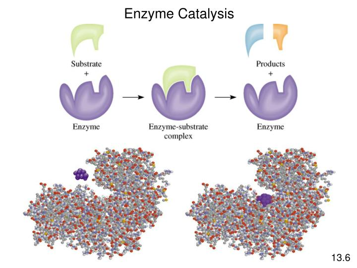 Enzyme Catalysis