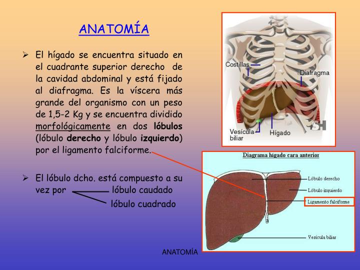 PPT - FISIOLOGÍA PowerPoint Presentation - ID:5190115