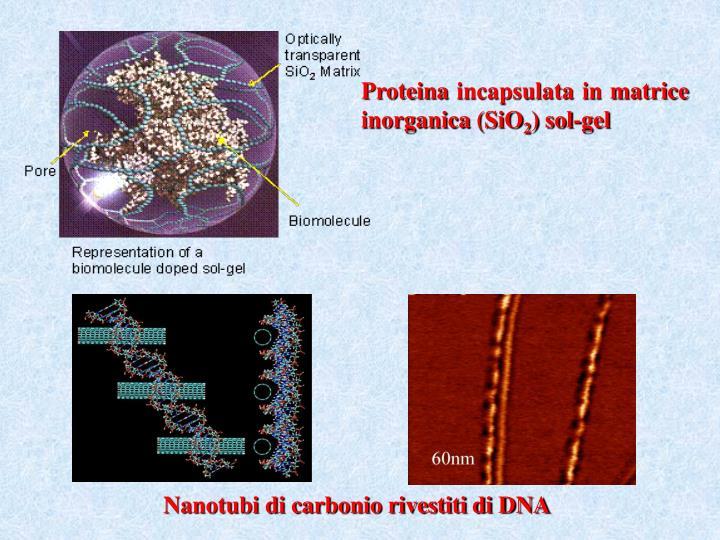 Proteina incapsulata in matrice inorganica (SiO