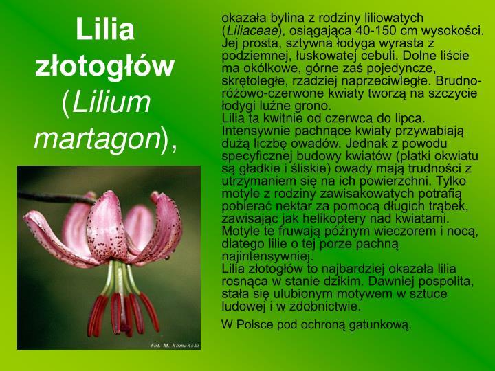 Lilia złotogłów