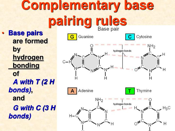 Complementary base pairing rules