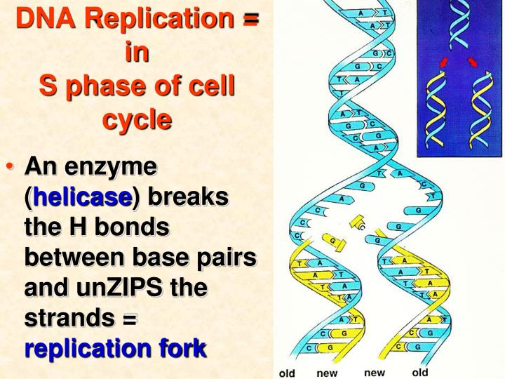 DNA Replication = in