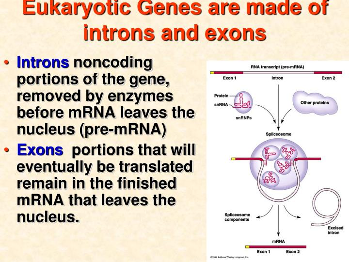 Eukaryotic Genes are made of introns and exons