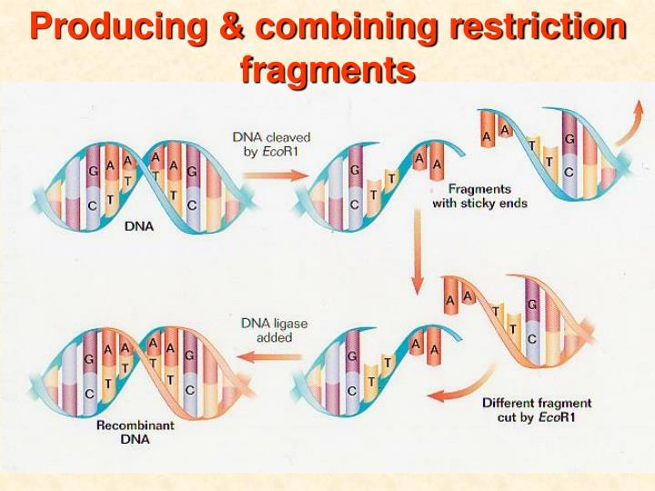 Producing & combining restriction fragments