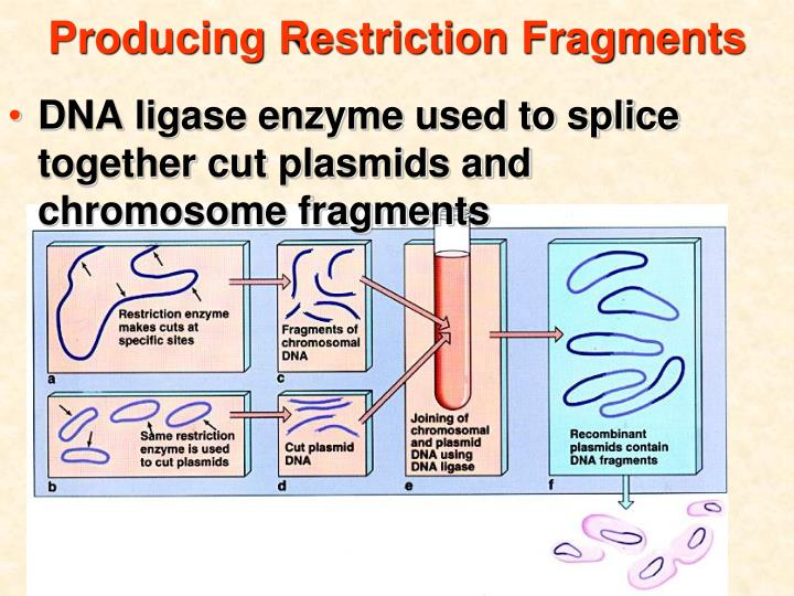 Producing Restriction Fragments
