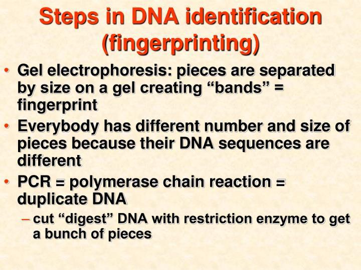 Steps in DNA identification (fingerprinting)