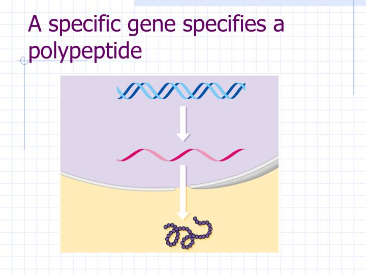 A specific gene specifies a polypeptide