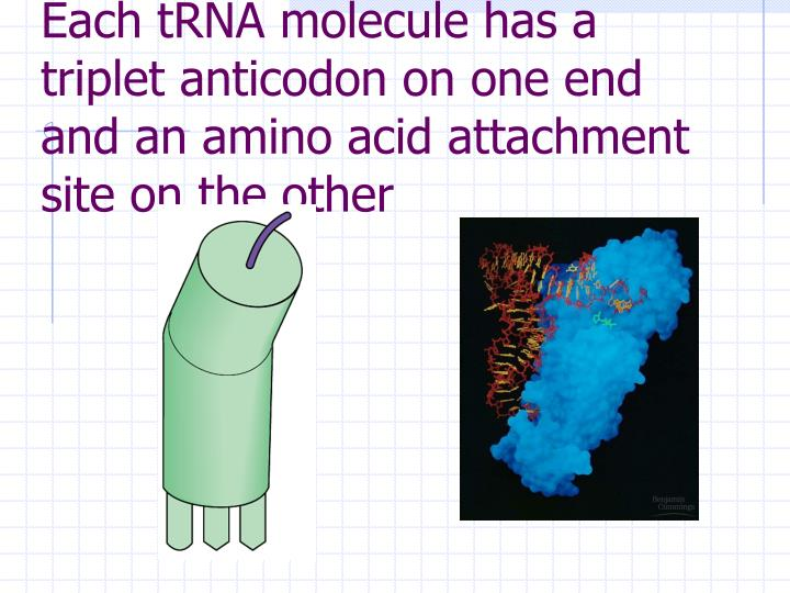 Each tRNA molecule has a triplet anticodon on one end and an amino acid attachment site on the other