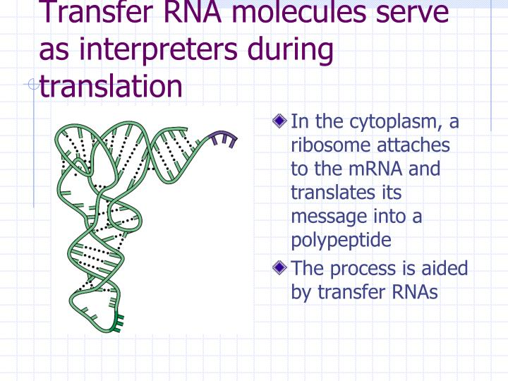 Transfer RNA molecules serve as interpreters during translation