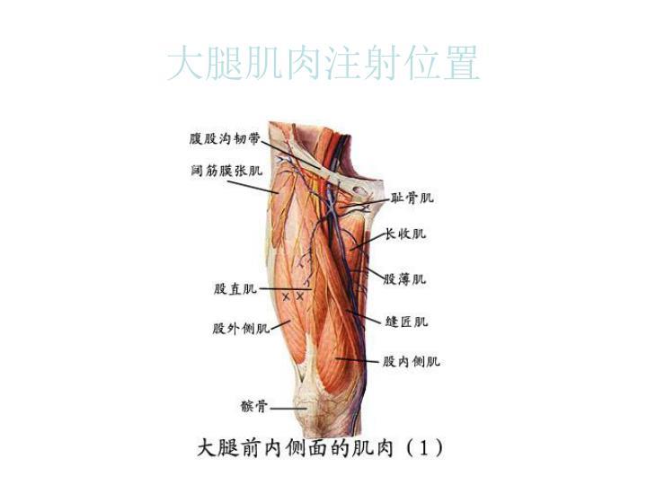 大腿肌肉注射位置